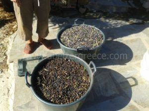olive-oil-production-in-Greece